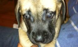 Purebred English Mastiff puppies for sale. Puppies are 7.5 weeks old. They have received their vaccinations and deworming. We have 5 males and 2 females. These dogs have great temperament, known as gentle giants. If interested you can come by to visit the