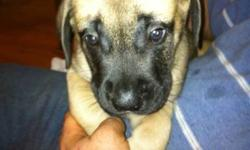Purebred English Mastiff puppies for sale.  They are 7.5 weeks old, 5 males and 2 females remaining.  They will receive their vaccinations and deworming Friday, January 6.  These dogs have an excellent temperment and are known as gentle giants.  Mom is