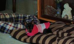Female Min Pin for sale, She is my sister's dog and unfortunately was unable to keep her. I would love to keep her but I have 4 dogs & 1 cat of my own, so now I have to find her a loving forever home. She is very petite, approximately 5lbs , black /tan