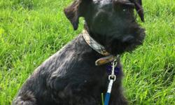 Mia is a 3 yr old mini schnauzer, non shedding/hypoallergenic. I am looking for a loving forever home with no young children because she is scared of children. I have a 2 yr old son and she is quite shy but has never showed any aggression. She is quiet