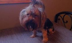 CKC Registered FemaleYorkie Sophie is 2 years old and weighs about 3lbs, she is a very sweet very cuddly little girl. She is pee pad trained. I paid $1800 for her with breeding rights, so whoever buys her will also have rights to breed her if they choose