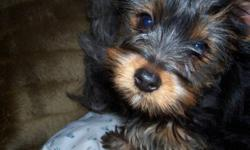 Very pretty, almost-1-year-old yorkie for sale. She has not been fixed yet but most of her shots are or will be up-to-date before she is re-homed. She is a timid little dog but has been around young children and other dogs of all sizes. She has limited