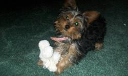Very playful and affectionate. Beautiful female yorkie puppy. Has shots and comes with accessories. (fabric dog house, kennel, dishes and toys). Located in 100 Mile house but travelling to Kamloops on Sunday.