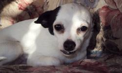 Hi there we have a Purebred Fixed Male Chihuahua for sale. We are asking $400.00 for him. He is White with Black ears, nose, and bottom lip. He is a cuddle bug and loves to sleep on your pillow. He has been raised in a Family enviroment and around