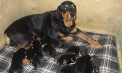 Excellent quality and temperment purebred german rottweiler puppies tails docked, dew claws removed* Shots not included. Christmas is coming soon, would make an excellent gift & great addition to the family! Mother and Father on site 6 Males & 4 Females