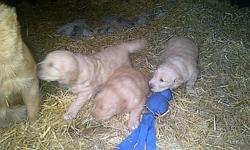 I have for sale 3 purebred Golden Retriever puppies. Two males and one female. They're just a little over 4 weeks old and will be ready to go November 15. A little early for Christmas but would make an excellant Christmas gift. Puppies will be dewormed,