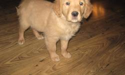 READY TO GO!!!! I have 6 ( 4 male 2 female) Gorgeous Golden Retriever puppies left. They have been vet checked, dewormed and have their first shots. I own both mom and dad. Temperament of both is awesome with mom being a solid athletic female and Dad, a