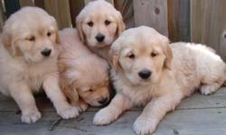 100% Purebred Golden retriever puppies.  Beautiful blond color, 8 weeks old, 6 males and 2 females.  Father is CKC reg'd. Vet checked, first shot and dewormed. very healthy and active. Ready to go now. looking for new home!  Pls call @ 416*342*9572