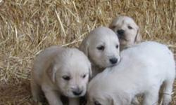 Farm Raised Purebred Golden Retrievers all ready to go to their new home. These cuties are dewormed and have had their first shots.   If interested call Daniel @ 519-617-4916