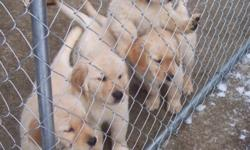 We have 4 Male puppies available. They are all very sweet, laid back and calm puppies and will make excellent pets. They are ready to go to their homes and have a good start on house training and learning household manners.   Both parents have been