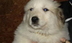 Readt for 4-ever homes!!! Beautiful purebred Great Pyrenees puppies. Raised around livestock, pets and children. Have had 1st shots, de-wormer and vet check-up. Health passsport provided. We own both working parents. Country homes preferred. Photos are of