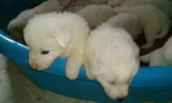 These pups are now 11 weeks old and we are running them daily with the big dogs now and they are such wonderful puppies.  The longer we have them, the more attached we are getting to them as we are seeing certain traits and personalities show now.  There