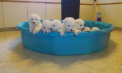 We have males and females available to choose from.  All documentations and papers come with each pup, and weights have been taken weekly since birth.  Both parents are purebred Great Pyrenees and are beautiful examples of the breed, and both are on site
