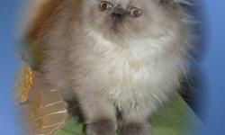 REDUCED PRICE FOR A QUICK ADOPTION Adorable himalayan kittens! CFA registered Litter and scratch post trained, have their shots, come with little kitten kit, contract and 1 year guarantee. Betsey Blue - photo 1-3 is a pure delight! Cuddling, gentle and
