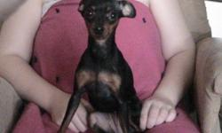 """We have a Purebred CKC Registered, Papered Female Minature Pinscher (Min Pin) for sale. She is 11"""" tall at the shoulders, black and rust in color, micro-chipped, house trained, and all her shots are up to date and has not been bred yet. She can be used"""