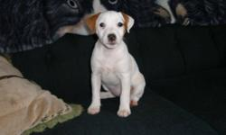 Purebred Parson Russell Terrier puppies ready to go.  There is one male and one female still available.  The female is tan and white with a very lightly broken coat while the male is tan and white with a rough coat.  They are 11 weeks old now. The pups