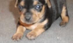 Adorable registered min pin puppies ready to go Dec 18th. 3 Female puppies left. Pups have 1st shots and tails and have been dewormed. Both parents on site. Call 416-410-8295