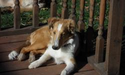 Purebred male Sheltie, 20 weeks old, all shots, dewormed, housetrained. No papers. Excellent Sheltie nature, smart, social and friendly, loves to play.