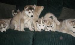 I have 2 female siberian husky  puppies ready to go just in time for Christmas dewormed 1st shots vet certificate handle daily great temperament mother on site father has ice blue eyes.Puppies have one brown and one blue eye.Email me or phone at