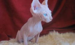 Purebred Sphynx Kittens Only 2 of 8 Left!! Variety of Colours, Sweet loving personalities, TICA Registered, Health Guarantee, Vet Inspected, Vaccinated, Neutered, Tattooed, Prof. Ear Cleaning, Pedigreed, A ?How To? care information package, Food and