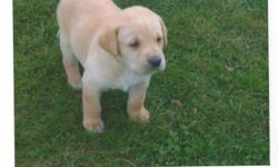 mother and father are both yellow labs.have very good temperament and great with children. There is only 1 Male Left. Puppies are all needled, dewormed and vet checked. should be able to go October 10th. Please call me at 662-1898 No Emails Please.
