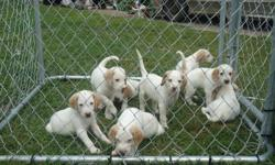 American foxhound puppies ... dewormed but no shots ... very friendly, located in Shawville
