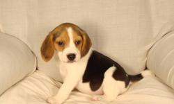 Quality beagle puppies. Good conformation. 1st shots and dewormed. $380.00. Phone 780-698-2585. Come with a puppy pack. Free partial delivery available. Picture #1 is the female. Pictures #2 & #3 are males.