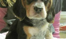 PUPPIES READY FOR THEIR NEW HOMES AFTER MONDAY! Sire and Dam are 13inch CKC Registered Purebred Beagles. Both have excellent health, great temperaments and conformation. 4 Beautiful and smart puppies  available to good homes with people who have the time