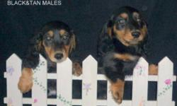Quality puppies to loving homes. These little fellows are from 2 different litters. Black&Tan and Red's available. They have had their 1st shot, wormed twice and are tattooed. They also will have a 6 week Health Insurance. They all have dark eyes. The