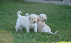 We pride ourselves with the quality in what we produce.   CHAMPION ENGLISH/EUROPEAN LINES for these excellent quality golden retrievers. Why purchase your next family member at GoldenAsset Kennels?? Here is what some of our puppy buyers tell us..