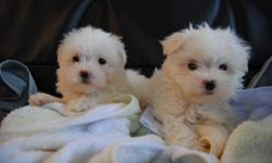 2 MONTHS OLD TINY TOY SIZE MALTESE PUPS MOM IS TOY MALTESE 6.5 LBS DAD IS TEACUP MALTESE 4.8 LBS 3 BOYS 1 GIRL ARE AVAILABLE FOR YOU TO CHOOSE THE PUPS WILL MATURE TO 5-7 LBS 1 TOY SIZE MALE --- $625 1 TINY TOY SIZE MALE --- $650 1 TINY TOY SIZE MALE ---