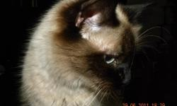 FEMALE RAGDOLL  CAT. SHE IS A SEALPOINT AND HAD A COUPLE OF LITTERS. SHE IS FRIENDLY AND LOVES TO FOLLOW YOU EVERYWHERE. INDOOR HOME IS PREFERRED. SHE IS FIV. AND FeLV. NEG.