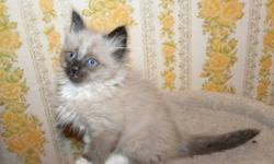 1 MALE RAGDOLL KITTEN. HE IS A MITTED, SEALPOINT. HAS A 1ST. VACC. AND VET CHECK AND DEWORMED.
