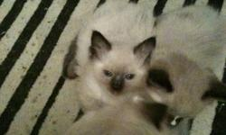 One female seal point ragdoll. She has her first shots and is dewormed. Totally litter box trained as well. She is unregistered but is a purebred ragdoll. Camrose area but can meet half way.