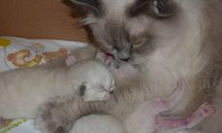 mink bluepoint ragdolls   7 weeks old, litter trained, very socialized & very, very affectionate. 2 males, 4 females They will be ready to go to their new homes after Oct.16. Will have had their first shots & deworming