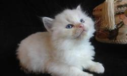 Beautiful  Registered Ragdoll kittens available third week of  October. I am accepting deposits now on these amazing kittens. All are raised with children and are part of the family. Wonderful personalities and perfect ragdoll characteristics. Dna