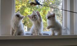 Beautiful purebred registered friendly floppy ragdoll kittens. Ready to go to their new homes the first week of November and Mid November. I can deliver to Vancouver. Please see Kittens at http://victoriaragdolls.wordpress.com/ or call me with any