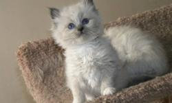 Ragdoll kittens!  We have blue, mitted and unmitted.  Seal, mitted and unmitted.  All will be 1st. vacc. and vet checked.  Deworming has already begun. They  are FIV. and FeLV. neg. Both parents are in our home. To view and or leave a non refundable