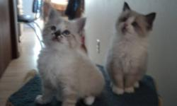 Christmas Ragdoll kittens born October 25,2011 and will be ready for a loving home December 20.  Litter box trained, eating well and loves attention. 3 females, 2 males.  Can be delivered into Calgary.  Call 403 224-3974 or email me for any questions,