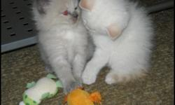 TWO Gorgeous adorable Ragdolls available for adoption. Ready to go to new homes between January 6th-9th. So celebrate your Christmas and New Years without worry of the kitten. Then introduce it to your home after the Christmas excitement settles down.