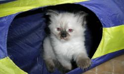 These bold and beautiful ragdoll kittens are well socialized with people, very friendly and docile. They have been checked by a vet, de-wormed and shots were administered. They are eating solid foods and drinking. They have been trained to use their