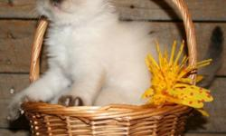 Blue Eyed Lovely Ragdolls. Seal points, blue points, Mitted and not, girls and boys. Playful and fun, they will have their first vaccinations and be ready to go . There are a couple of litters to chose from. Long time breeder of wonderful companion