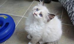 Pick Up On Xmas Eve or Xmas Day  or any day you'd like Abadabadolls Ragdoll Cattery, is a TICA/CFA Registered Cattery, (not a back yard breeder,) with over 12 years of experience, along with recommendations from previous customers.  We have recently moved