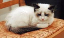 Hello I would like to breed my queen. I am looking for a Ragdoll,  siamese, himalyian or snoweshoe male to be a few days husband. It must have bright blue eyes and purebred. My queen has a wonderful disposition n personality. There will be a reasonable