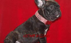 Victory Bulldogs has One very rare Chocolate Brindle Male Available from our litter of outstanding quality Chocolate Frenchies!  This Boy is just Gorgeous and ready for his new home now.  Vaccines have been done he will come Mirochipped, de-wormed and
