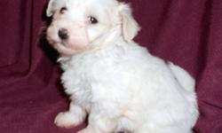 NOTICE: We lowered them to half price so they find new homes for Christmas!  You will not find these puppies for this price ANYWHERE! We have Registered Coton de Tulear puppies that were born on October 10,2011.  They are now ready for their new homes!.