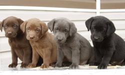 Come and take a Look at this great Litter!!!   We offer: Silver Lab - Female -Sold Purple Frame: Dark Chocolate, Female -Sold Yellow Frame: Dark Chocolate, Male -Sold Red Frame: Light Chocolate, Female -Sold Black Frame: Light Chocolate, Female Green