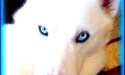 Exceptionally Rare Snow White Huskies. Remarkably vivid  ice blue eyes, absolutely solid sparkling white coats. ( NOT Albinos ) They are intelligent, affectionate, athletic and playful. They are strong and healthy and from very friendly and beautiful