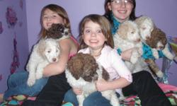 WHY DOODLE WHEN YOU CAN POODLE??? Poodles are fast becoming the #1 'sought after' dog in the U.S. Non-shedding, 100%  non allergenic, fabulous with children, calm yet playful, content to lay at your feet but always ready for a walk, easy to train, very