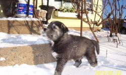 . Needled de-wormed Vet Health Certified. Both parents are on site and are loving farm rasied family pets . We have a rare black male , he looks more wolf than husky he will be very unique looking . He has one blue eye and very playful. Because he is not